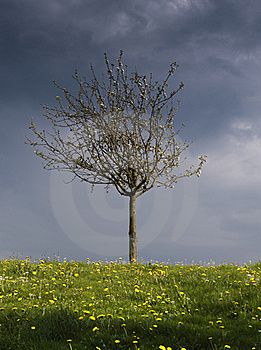 Spring Blossom Tree Royalty Free Stock Images - Image: 17589029