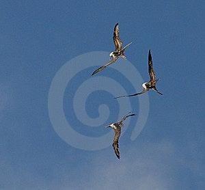 Frigate Birds Stock Image - Image: 17591511