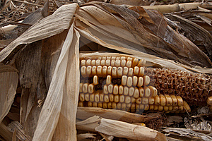 Old Autumn Corn Stock Image - Image: 17593171