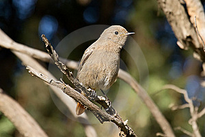 Female Black Redstart Stock Photos - Image: 17596953