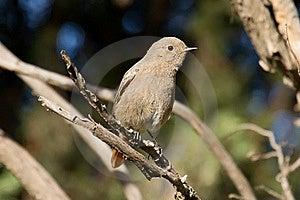 Female Black Redstart Stock Photos - Image: 17596953