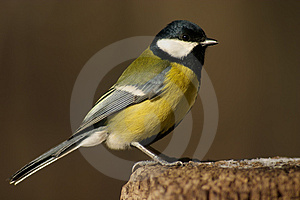 Tomtit bird on the stub Royalty Free Stock Photos