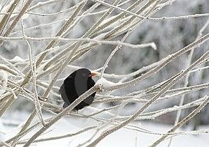 Blackbird Royalty Free Stock Image - Image: 17600266