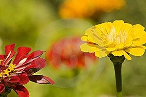 Lovely Summer Zinnias Royalty Free Stock Photos - Image: 17606018