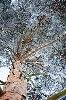 Pine Covered By A Snow Stock Images - Image: 17607454