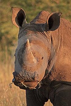 White Rhino Royalty Free Stock Photos - Image: 17607498