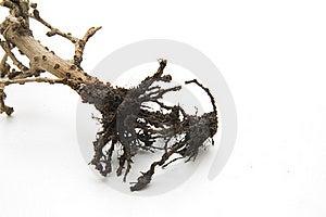 Bonsai Royalty Free Stock Image - Image: 17610486