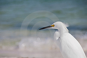 Snowy Egret Royalty Free Stock Images - Image: 17611199