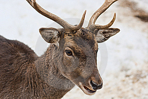 Deer Head Royalty Free Stock Photo - Image: 17618495