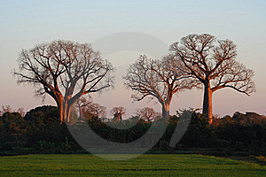 Three Baobabs Royalty Free Stock Images - Image: 17619699