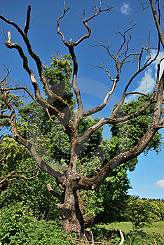 Dry Tree Royalty Free Stock Images - Image: 17625859