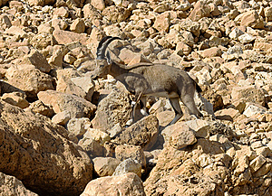 Mountain Chamois Among Rocks Royalty Free Stock Photo - Image: 17625915
