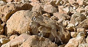 Mountain Chamois Among Rocks Stock Photos - Image: 17625933