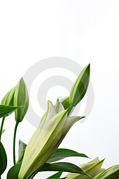 Lily Flowers Stock Photography - Image: 17631562