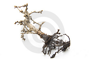 Bonsai With Root Royalty Free Stock Image - Image: 17634406