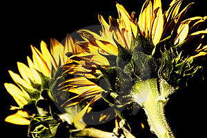 Sunflowers With High-dynamic Effect Royalty Free Stock Photo - Image: 17639255