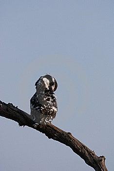 Kingfisher Stock Photos - Image: 17640723