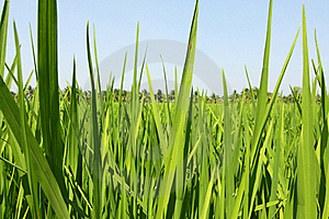 Paddy Field, Rice Stock Image - Image: 17645871