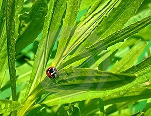 Ladybug Royalty Free Stock Image - Image: 17646836