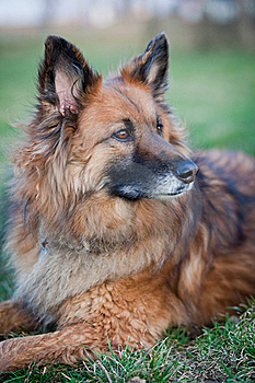 Belgian Shepherd Dog Royalty Free Stock Photography - Image: 17653487