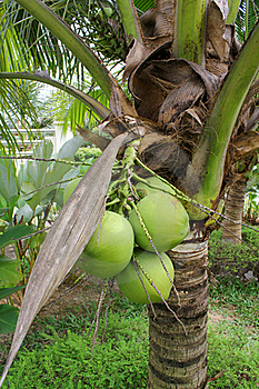 Coconut Tree Stock Photos - Image: 17659993