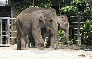 Asian Elephants Royalty Free Stock Photography - Image: 17664027