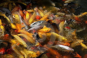 Ornamental Fish Royalty Free Stock Image - Image: 17664976