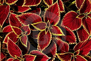 Leaves Phnom Penh Royalty Free Stock Images - Image: 17665259