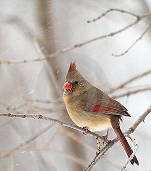 Female Northern Cardinal, Cardinalis Cardinalis Royalty Free Stock Photos - Image: 17666378