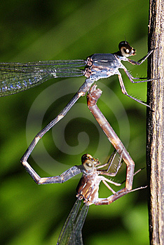 Damselfly Mating Royalty Free Stock Photo - Image: 17674555