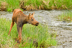 Moose Calf Stock Image - Image: 17675901