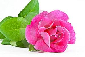 Pink Rose Royalty Free Stock Images - Image: 17676629