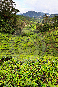 Tea Plantation In The Cameron Highlands Stock Images - Image: 17676714