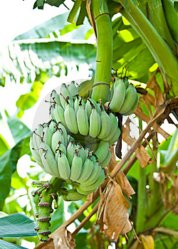 Banana Blossom And Bunch On Tree Royalty Free Stock Photo - Image: 17677905