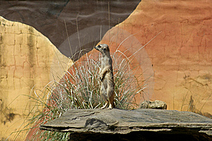 African Meerkat Royalty Free Stock Photo - Image: 17677915