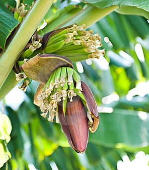 Banana Blossom And Bunch On Tree Stock Images - Image: 17677974