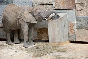 Elephant At The Zoo Royalty Free Stock Image - Image: 17683496