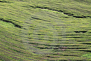 Tea Field 02 Royalty Free Stock Image - Image: 17683506