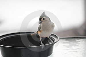 Tufted Titmouse With Sunflower Seed In Beak #2 Royalty Free Stock Images - Image: 17687109