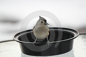 Tufted Titmouse With Sunflower Seed In Beak #3 Stock Photo - Image: 17687120