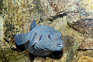 Guineafowl Puffer (Arothron Meleagris) Royalty Free Stock Image - Image: 17689066