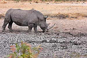 African White Rhinoceros Stock Images - Image: 17689314