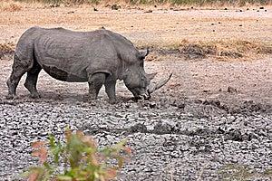 African White Rhinoceros Stock Images - Image: 17689314