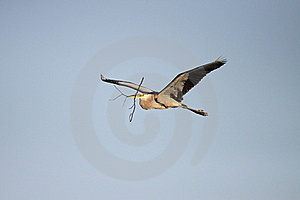 Great Blue Heron In Flight Royalty Free Stock Images - Image: 17691189