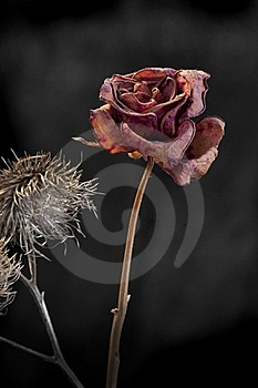 Duality Of Wilting Rose And Thistle Stock Photos - Image: 17691293