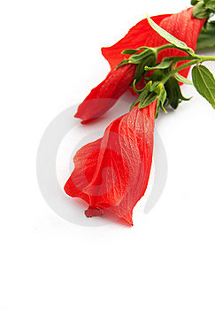 Hibiscus Flower Buds Stock Photos - Image: 17694223