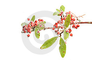 Frosted Pyracantha Royalty Free Stock Photography - Image: 17709397