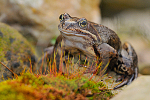 Grass Frog Stock Photo - Image: 17709750