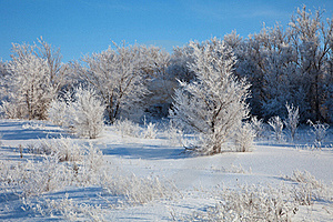 Sunny Winter Day - Winter Forest. Russia. Royalty Free Stock Photography - Image: 17716667