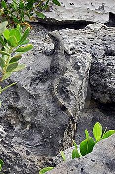 Tropical Beach Lizard Stock Image - Image: 17719111